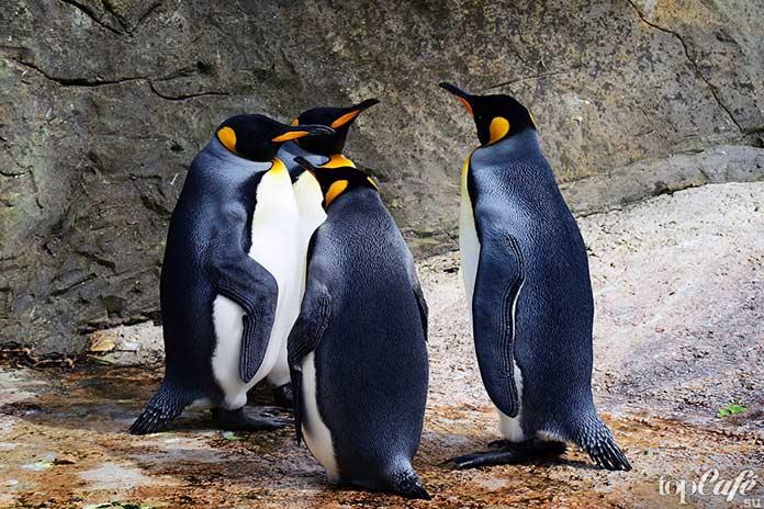 Королевский пингвин. СС0