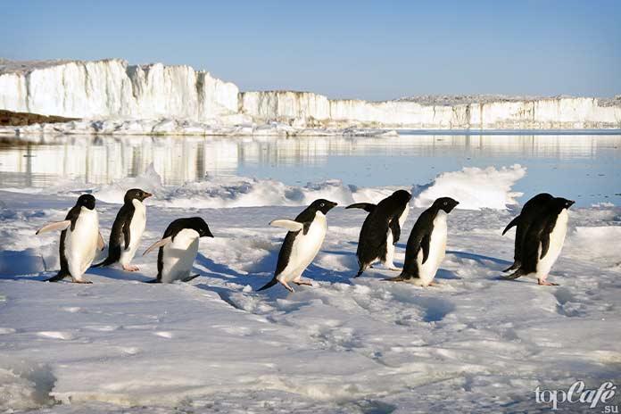 Пингвины - Морозостойкие птицы. СС0
