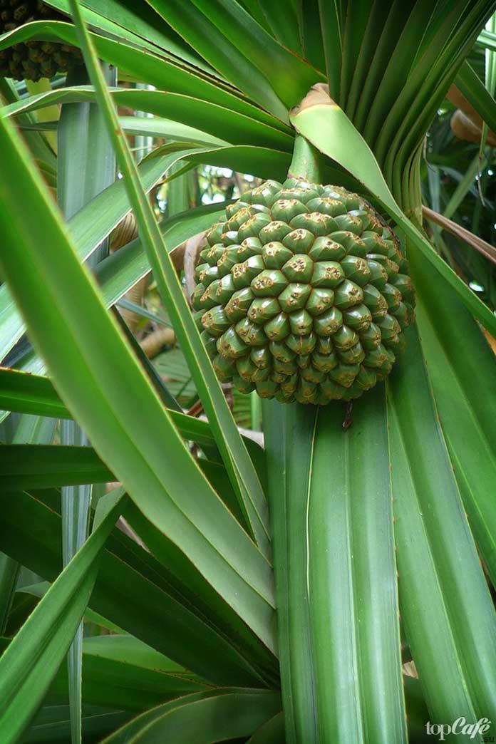 Список самых необычных фруктов: Pandanus. CC0