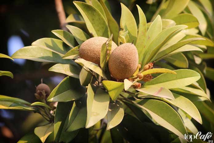 Список самых необычных фруктов: Sapodilla