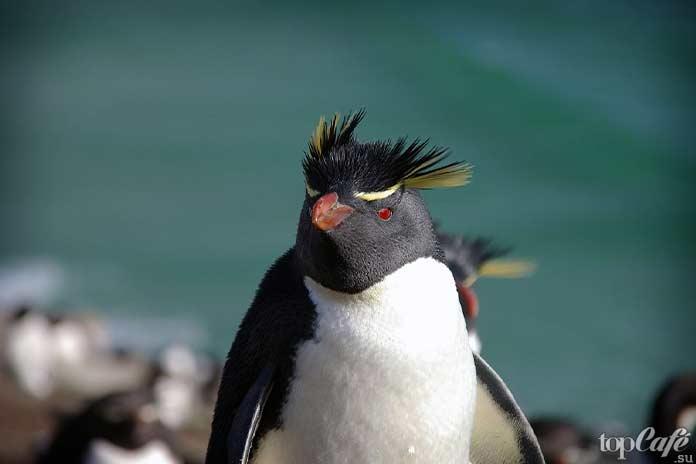хохлатый пингвин. СС0