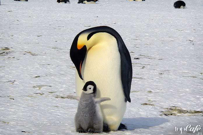 факты о пингвинах: императорский пингвин. СС0