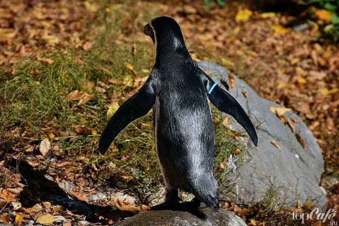 факты о пингвинах: крылья. CC0