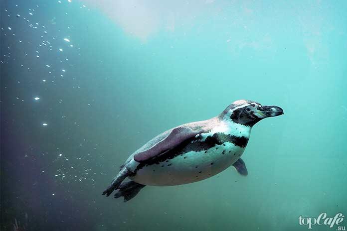 особенности пингвинов. СС0