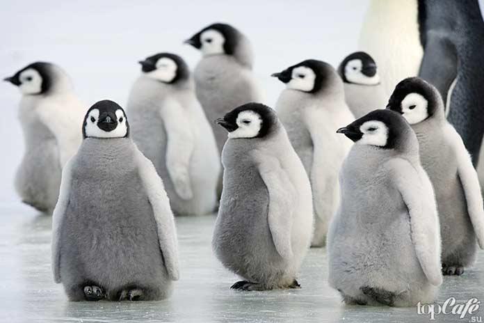 факты о пингвинах: детские сады