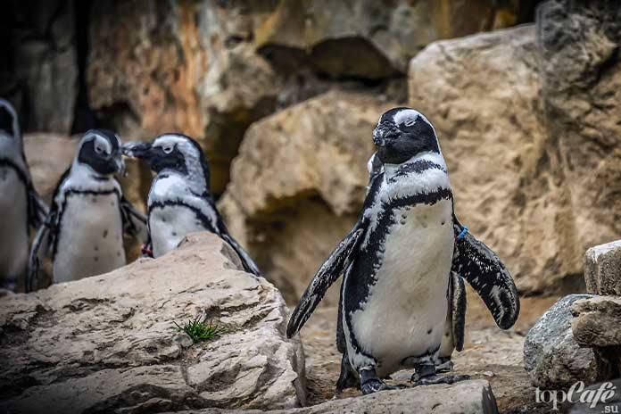 происхождение пингвинов. СС0