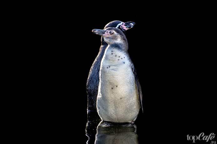 верные пингвины. СС0