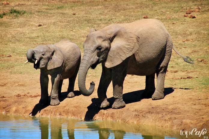Африканский слон. CC0