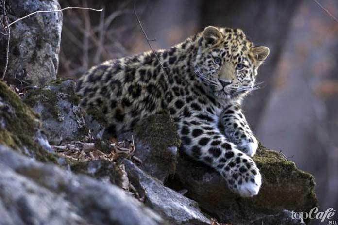 Амурский леопард. CC0