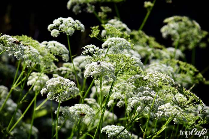 Опасные и смертоносные растения: Болиголов. CC0