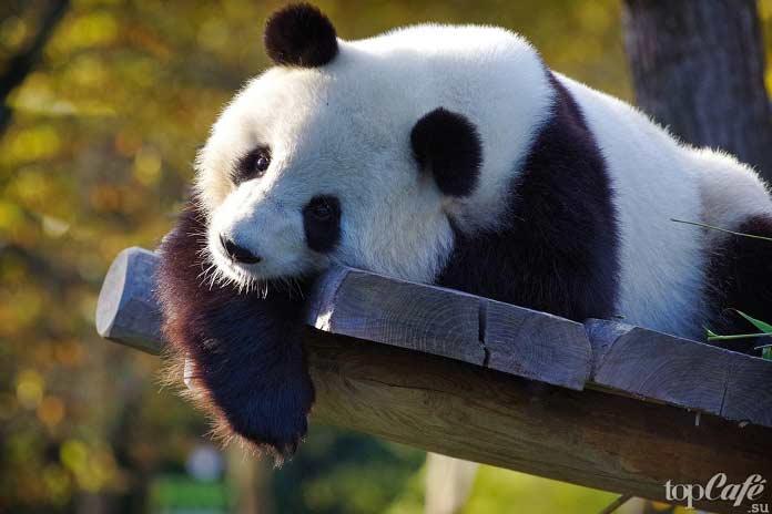 Список десяти исчезающих животных: Гигантская панда. CC0
