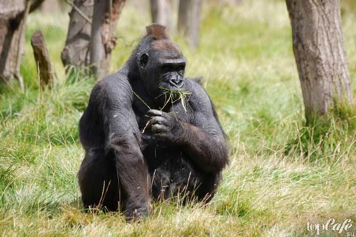 Список исчезающих животных: Горная горилла. CC0
