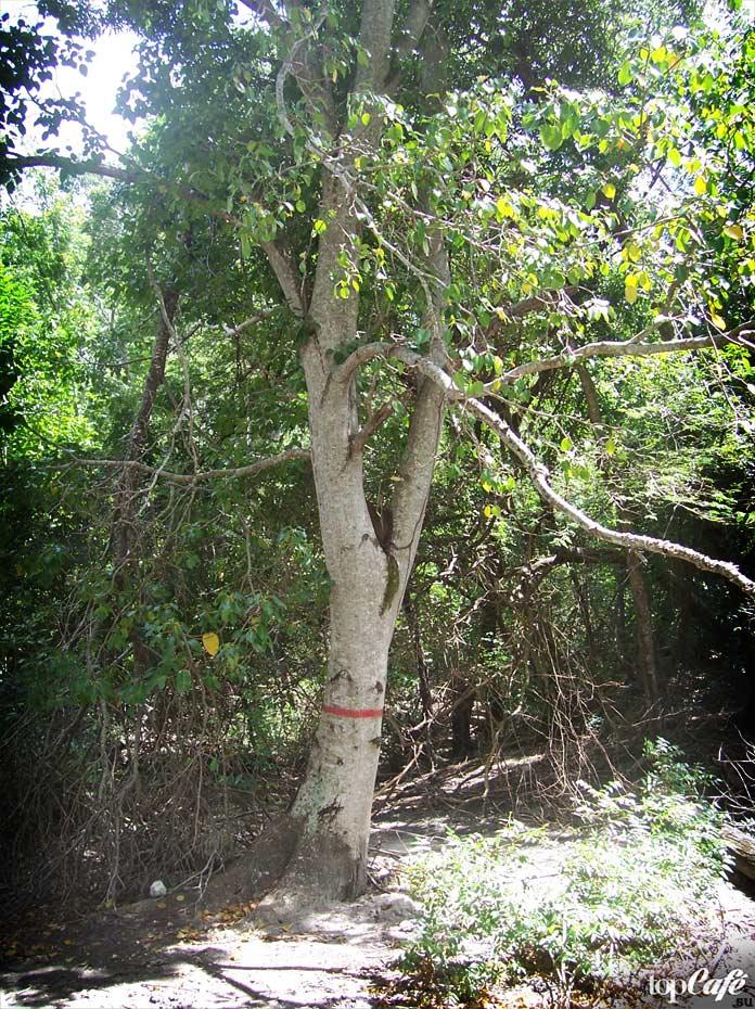 Опасные и смертоносные растения: Манцинелла