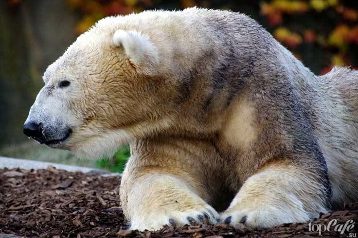 Белый медведь. CC0