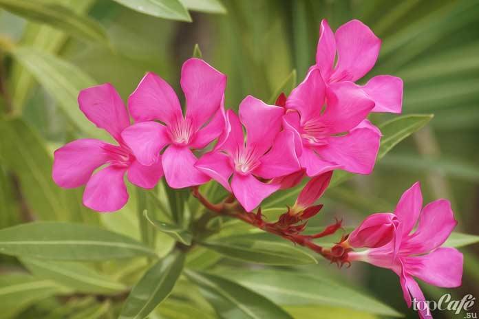 Опасные и смертоносные растения: Олеандр. CC0