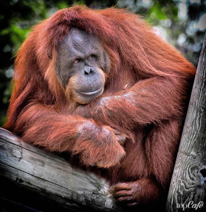 Список десяти исчезающих животных: Орангутан. CC0