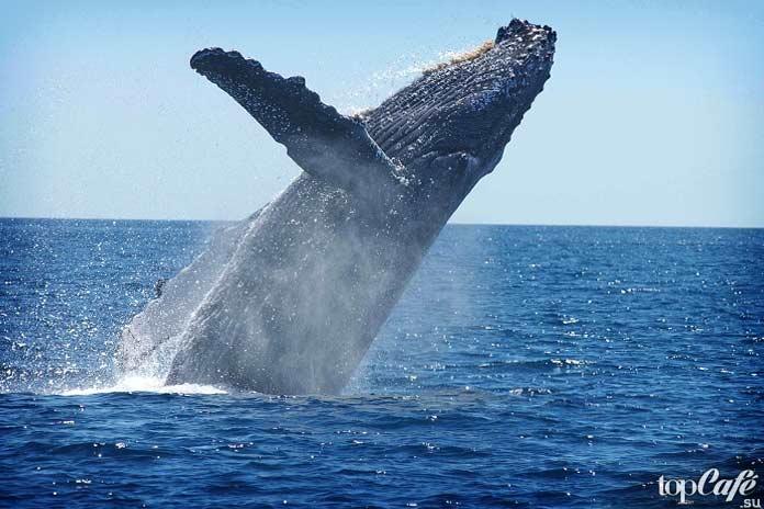 10 исчезающих животных. Синий кит. CC0