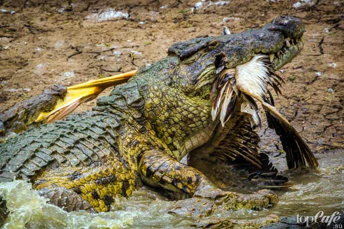 Интересные факты о крокодилах: Хитрый охотник