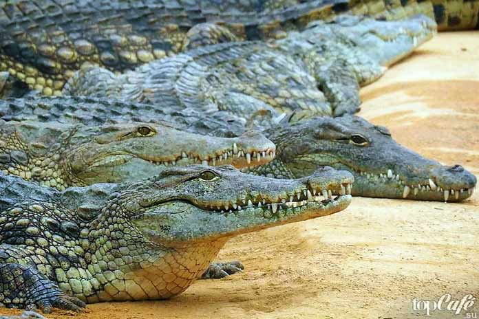 Классификация крокодилов. СС0