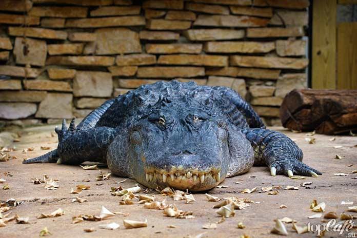 Крокодил долгожитель. СС0