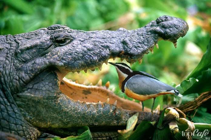 Крокодил и птица