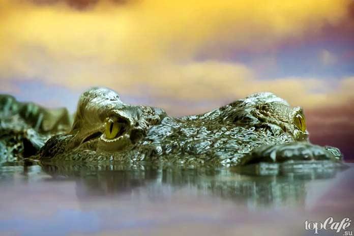 Крокодил в воде. СС0