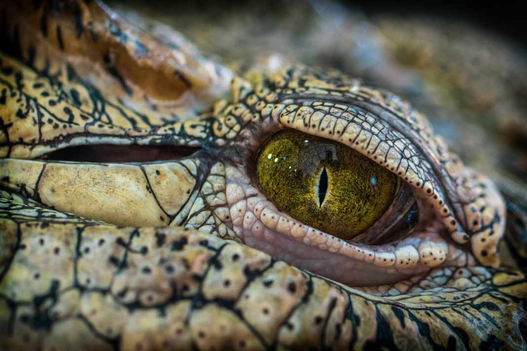 Крокодил. CC0