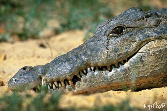 Увлекательные факты о крокодилах: Крокодиловы слёзы