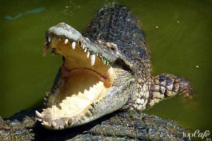 Интересные истории о крокодилах: Нападение крокодила. СС0