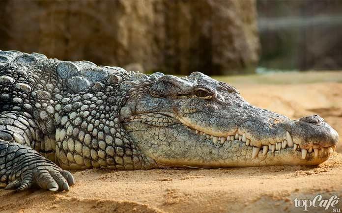 Название крокодил. СС0
