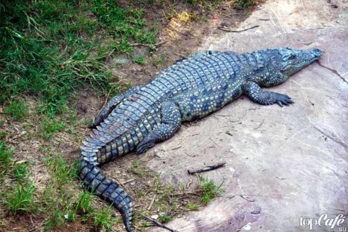 Самые интересные факты о крокодилах: Особенности строения. СС0