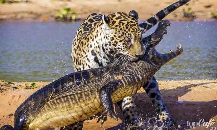 Интересные факты о крокодилах: Пищевая цепочка