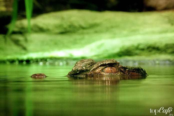Повадки крокодилов. СС0