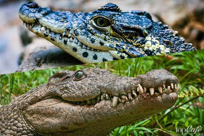 Удивительные факты о крокодилах: Различия. СС0