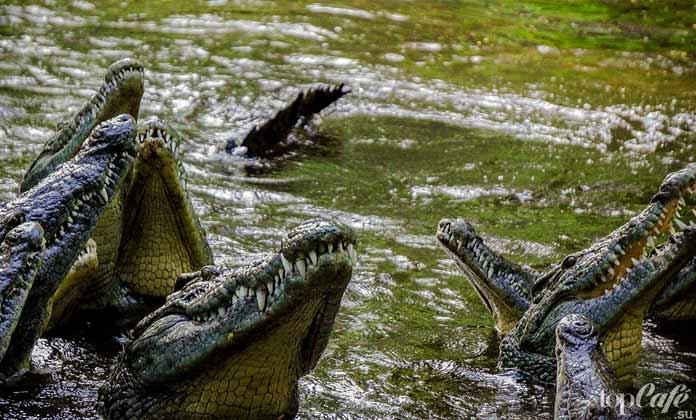 Интересные факты о крокодилах: Убийцы. СС0