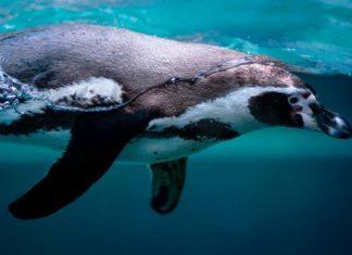 Пингвин. CC0