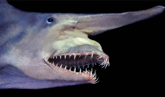 Самые невероятные акулы: Акула-домовой