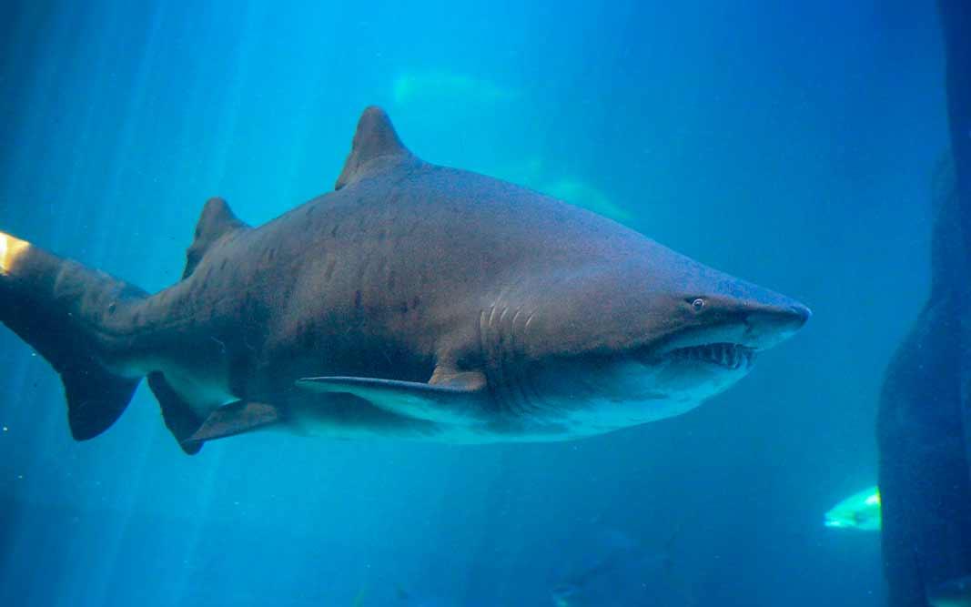 Акула. CC0