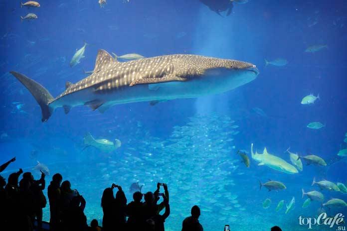 Китовая акула. CC0