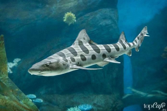 Удивительные акулы: Leopard Shark