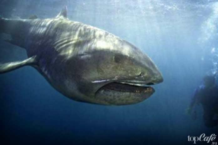 Пелагическая большеротая акула - одна из самых удивительных акул в мире