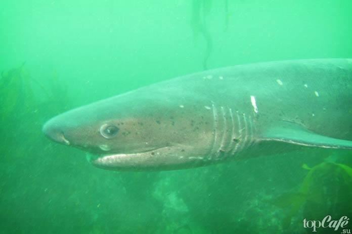 Шестижаберная акула-корова
