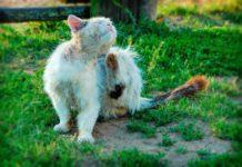 Блохи у кошки. CC0