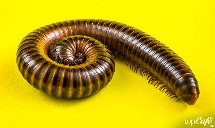 Diplopoda. CC0