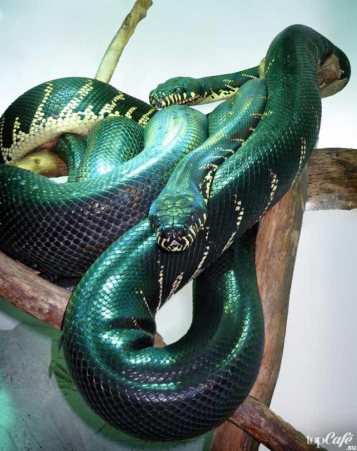 Самые дорогие змеи: Новогвинейский водный питон