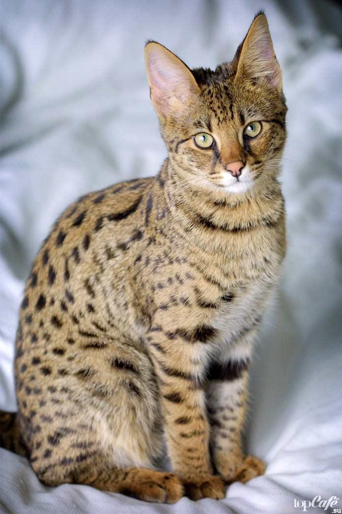 Кошки породы саванна. CC0