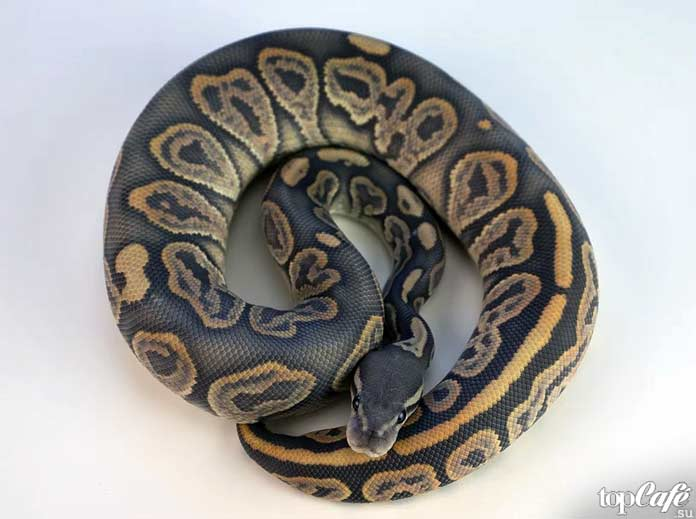 Sunset Ball Python. CC0