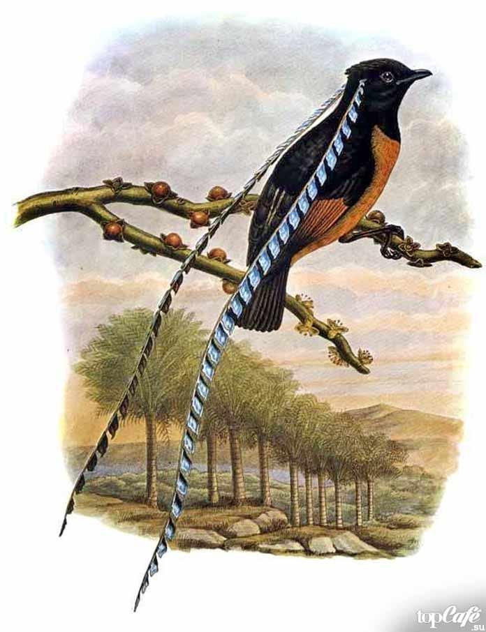 Чешуйчатая райская птица - одна из самых необычных птиц. CC0