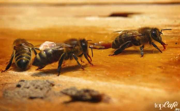 Пчёлы. CC0