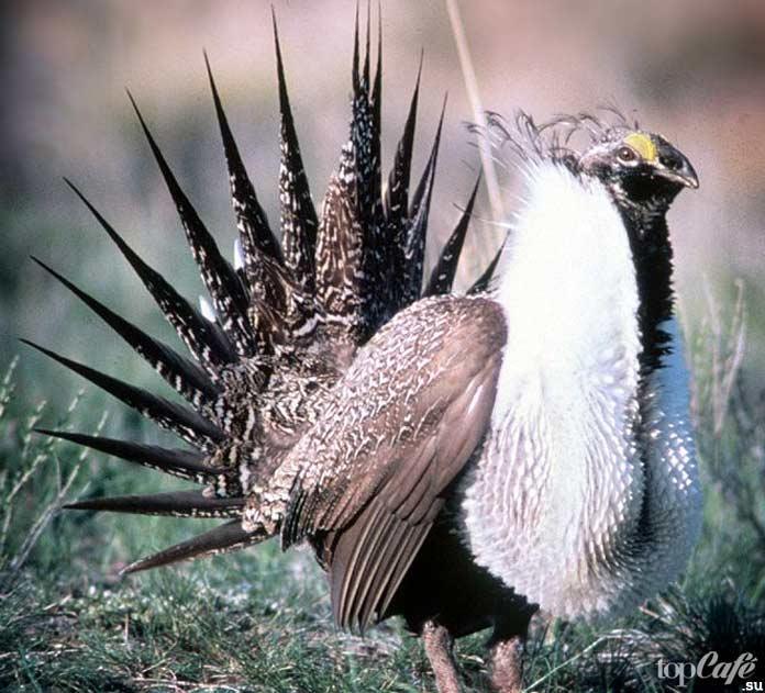 Тетерев - одна из одна из самых необычных птиц. CC0